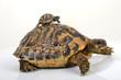Tortue Herman et bébé tortue sur le dos