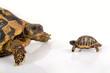 Face à face tortue et bébé tortue hermann