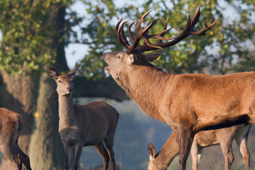 Red Deer Stag bellowing at Hinds during rut