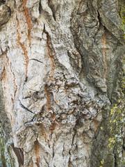 textura de corteza de arbol
