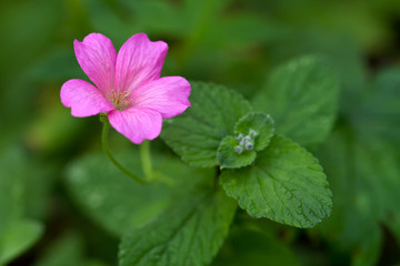 Endres cranesbill with leaves (lat. Geranium endressii)