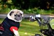 Pug on Quad