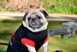 Dressed Pug