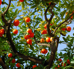 ripe tangerines growing on a tree en spain
