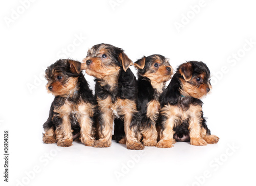 Deurstickers Franse bulldog cute little yorkshire terrier puppy isolated on white