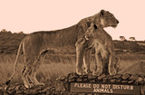 sepia of lioness and cub on signpost in Kenya