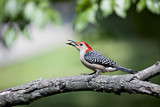 Beautiful colorful Red Bellied Woodpecker