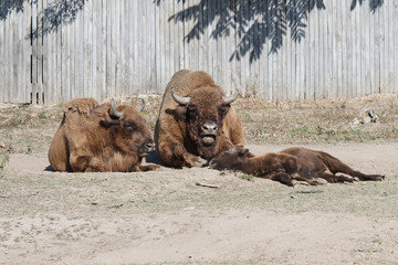 The family of bison