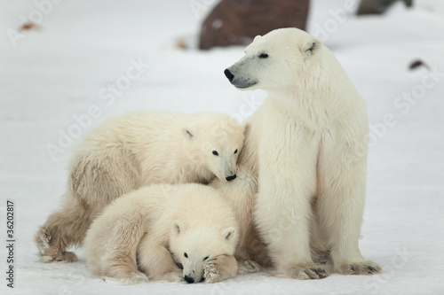 Papiers peints Ours Blanc Polar she-bear with cubs.