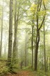 Forest trail surrounded by beech trees on a foggy morning