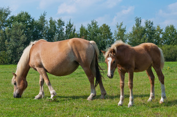 Mare and her foal grazing in a meadow