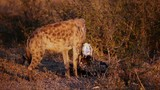 Spotted hyena scavenging, South Africa poster