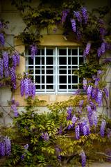 Fenster mit Blauregen