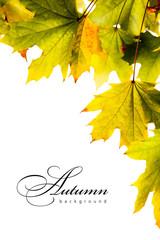 autumn backgroundl maple leaves