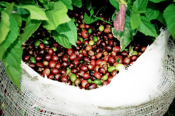 Bin full green coffee in Costa Rica