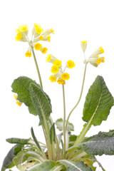 Echte Schlüsselblume, (Primula veris) Pflanze vor weiß