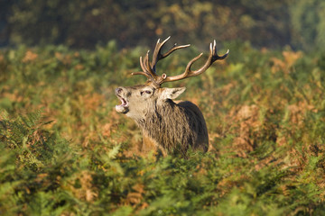 A stag male deer roaring in the autumn sunlight