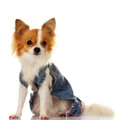 little dog in jeans dress isolated on white