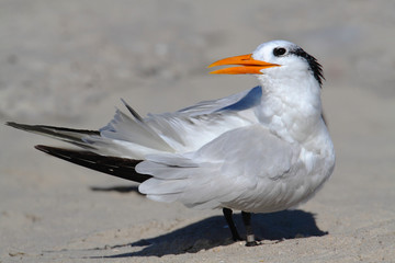 Endangered Royal Tern (Sterna maxima)