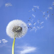 dandelion blowball and flying seeds