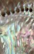 colorful nacre closeup