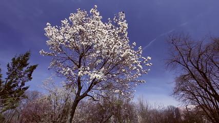 Flowers Magnolia Tree