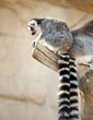 Ring tailed Lemur sitting in a tree