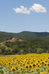 Landscape between Lazio and Umbria (Italy) with sunflowers