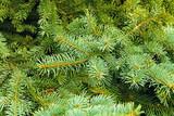 Fototapeta sosna - drzewo - Roślinne