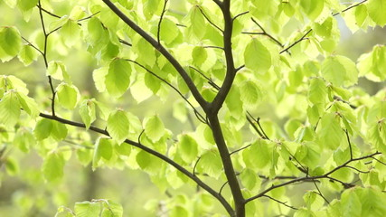 Close up of fresh green beech leaves trembling with the wind