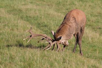 Deer Rut. Red deer stag raking ground with antlers, Yorkshire