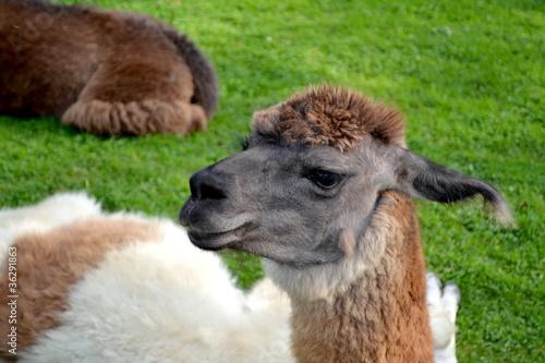 Funny Alpaca Prufile