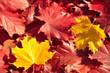 Herbstlaub liegend-gelb und rot