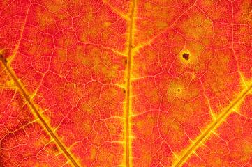 Spitzahornblatt im Herbst 3