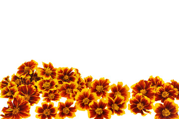 Marigold  flower heads over white background