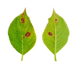 Diseased leaf of  Hydrangea serrata – fungus Cercospora