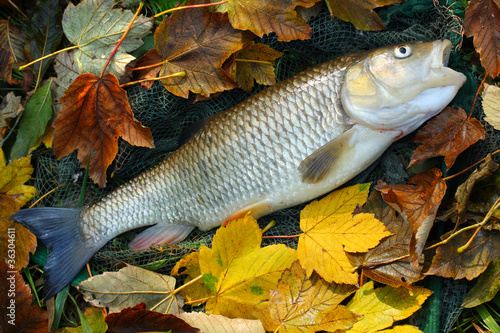The European Chub (Squalius cephalus).