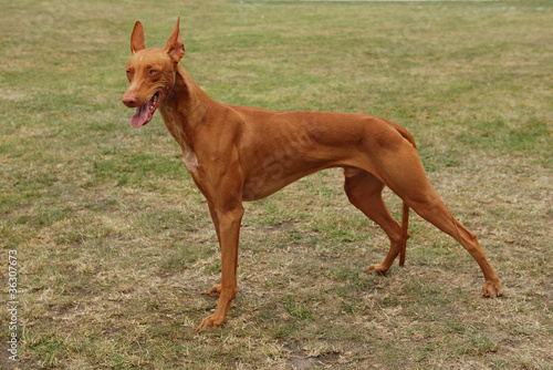 Pharaoh hound / Pharaoh dog