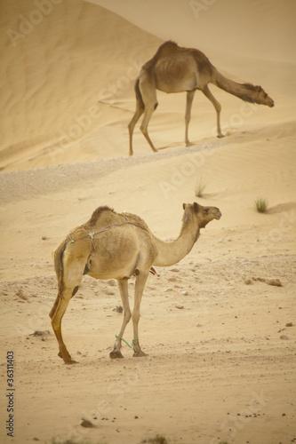 Fototapeten,kamel,dubai,saudi,golf