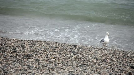 Wondering seagull on rocky stones beach