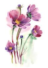 Vattenfärg -Cosmos blommor-