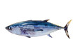 Albacore tuna Thunnus alalunga fish isolated