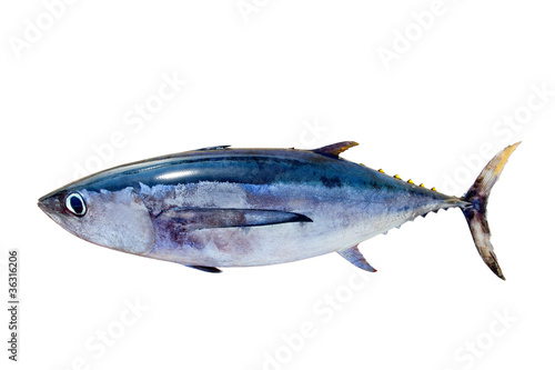 Albacore tuna Thunnus alalunga fish isolated