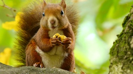 Red Squirrel Eating a Chestnut on a Branch