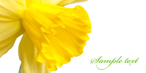 Card with a fine yellow narcissus