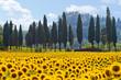 Sonnenblumenfeld in der Toskana quer - 36319099