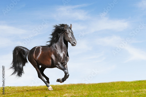 Black horse rung gallop on freedom - 36321687