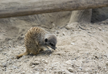 Meerkat on stony ground