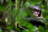Fototapety Wild Chimpanzee   portrait