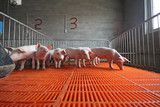 piglets in the enclosure poster